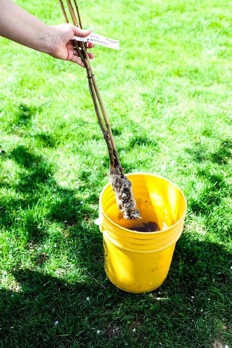 Planting Bare Root Trees: Tips and Tricks