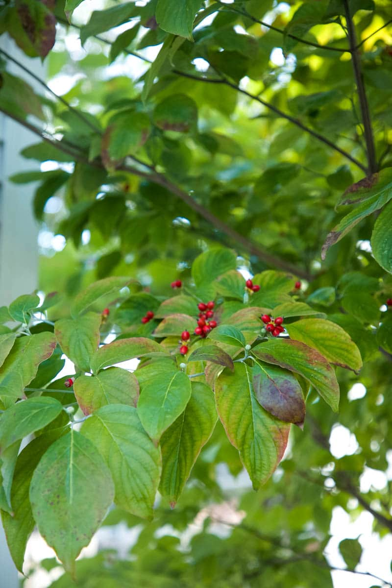 If you want to get started planting trees, planting potted trees is a perfect place to start. Discover how easy it is to care for and grow a Dogwood tree.