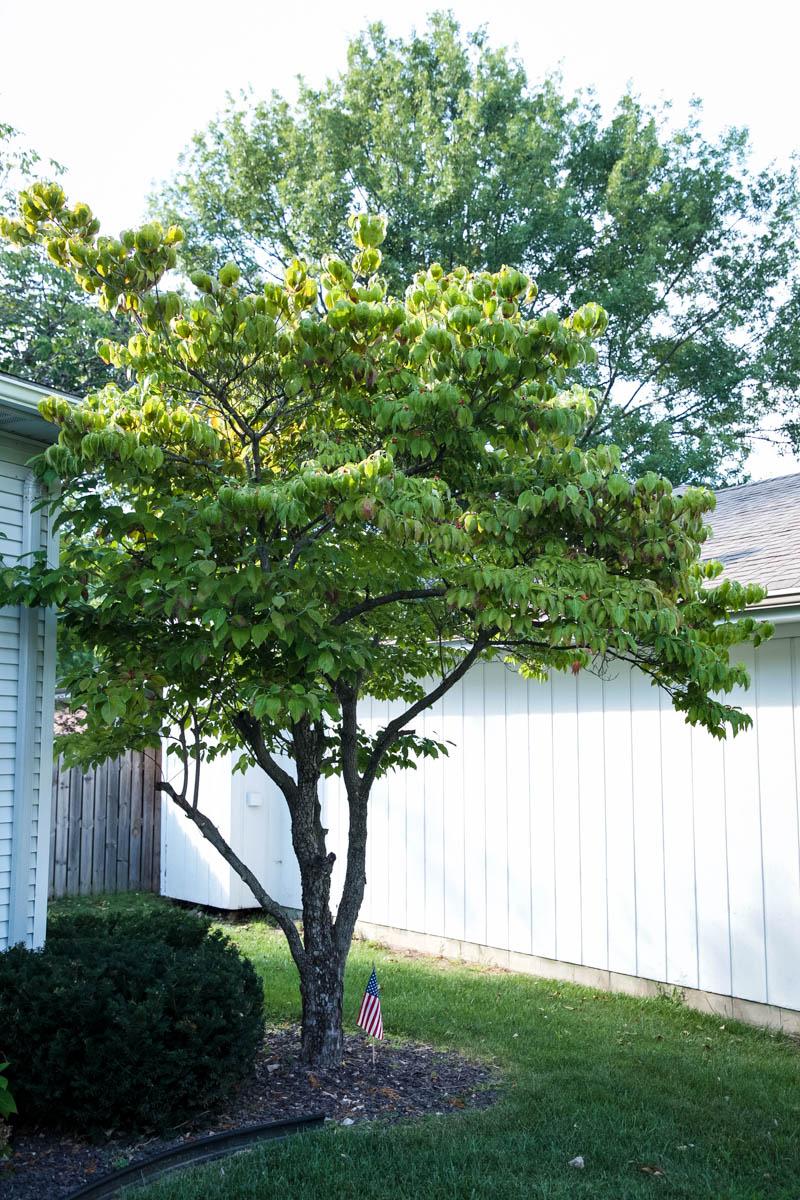 planting dogwood trees
