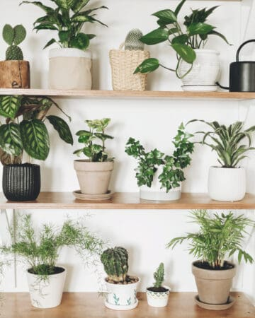 Best air purifying house plants in pots on wood shelf